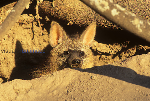 Aardwolf in its breeding den (Proteles cristatus), South Africa.