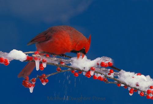 Male Northern Cardinal, Cardenalis cardenalis, causes snow to fly as he  pecks at holly berry covered with icicles and snow,  Missouri, USA America