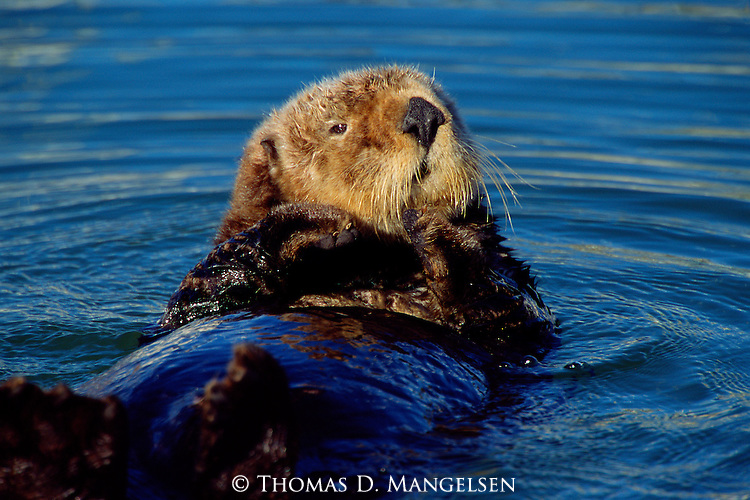 Off the coast of Monterey Bay, a California sea otter bobs in the Pacific Ocean during a calm spring day.