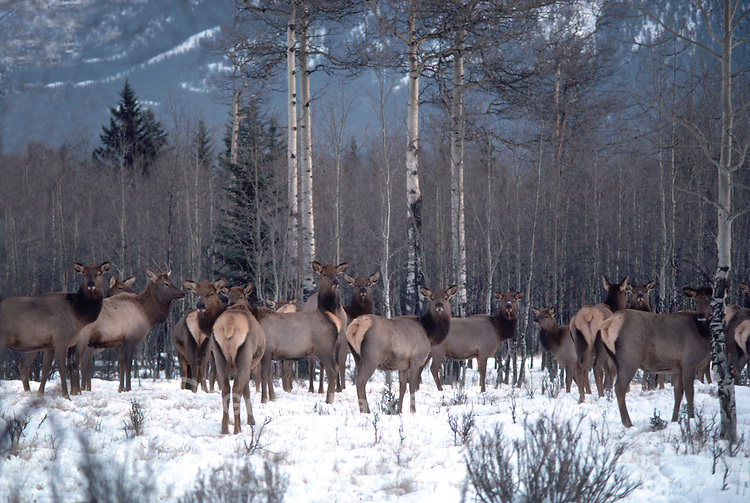 Banff National Park, Canadian Rockies, AB, Alberta, Canada - Elk Cow Herd, Wapiti (Cervus canadensis) in Forested Meadow, Winter