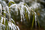 Bamboo Leaves covered in snow, grown as food for pandas, Wolong Research and Conservation Centre, Sichuan (Szechwan) Province Central China, reserve, breeding centre, asia, asian, chinese.China....