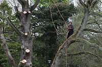 Tree surgeon in the process of completely demolishing a dead tree In the grounds of Stranmillis College, Belfast, N Ireland, April, 2017, 201704113388<br />