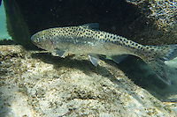 Chinook Salmon (male)<br />
