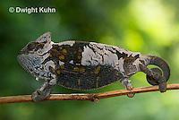 CH50-506z Female Veiled Chameleon molting old skin, Chamaeleo calyptratus
