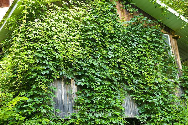 Virginia creeper, Parthenocissus quinquefolia, woody creeping vine growing on porch screen