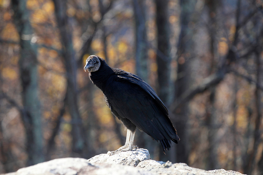 A vulture stands on a rock in Buckingham County, VA. Photo/Andrew Shurtleff