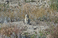 679080001 a wild beldings ground squirrel spermophilus beldingi sits near its burrow in an open field in modoc national wildlife refuge california