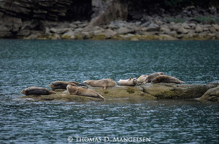 Harbor Seals lay on rocks in Katmai National Park, Alaska.