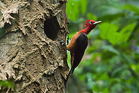 A Red-necked Woodpecker (Campephilus rubricollis), closely related to the Ivory-billed woodpecker, pauses after drumming at the nest hole in a termite-infested tree in Guyana.