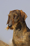 Wire Haired Dachshund<br /> <br /> <br /> Shopping cart has 3 Tabs:<br /> <br /> 1) Rights-Managed downloads for Commercial Use<br /> <br /> 2) Print sizes from wallet to 20x30<br /> <br /> 3) Merchandise items like T-shirts and refrigerator magnets Shopping cart has 3 Tabs: