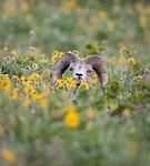 bighorn sheep ram in a field of flowers in montana