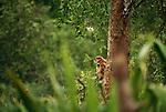 Proboscis monkeys, Borneo, Indonesia