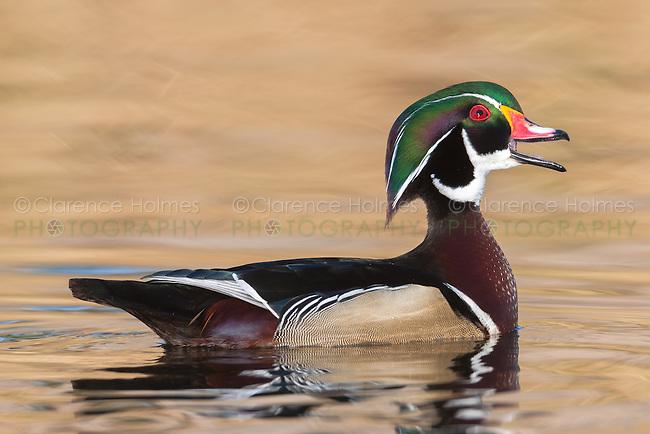A male Wood Duck (Aix sponsa) calling his mate at Santee Regional Park, Santee California.