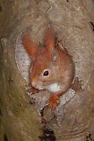 Eichhörnchen, Europäisches Eichhörnchen, schaut aus einer Asthöhle, Höhle heraus, Sciurus vulgaris, European red squirrel, Eurasian red squirrel