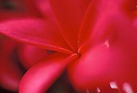 Pink plumeria close up with blur focus foreground
