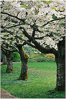 Elegant row of white Japanese Cherry trees in Spring, Prunus 'Shirotae', near the Japanese Monument in Stanley Park, Vancouver, BC.