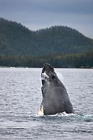 Humpback whale spy hopping, Prince William Sound, southcentral, Alaska.