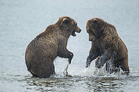 Alaskan brown bear sub-adults sparring