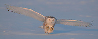 A juvenile snowy owl at sunset the instant before catching a rodent.