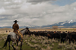 Cowboys gather cows and calves for branding, Wilsall, Montana, Crazy Mountains, MODEL RELEASED, PROPERTY RELEASED