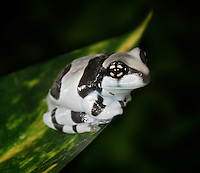 Amazon Milk Frog (Trachycephalus resinifictrix), captive.