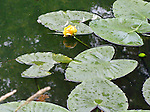 water lilies on a calm pond, beginning to bloom with yellow blossoms and receiving a light summer rain