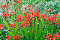 Crocosmia Lucifer planted with Stipa calamagrostis grass showing red flowers and feathery plumes together in good garden design