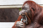 Bornean Orangutan (Pongo pygmaeus wurmbii) - Siswi the Queen of the jungle of Camp Leakey brushes her teeth and toothpaste makes her yawn.