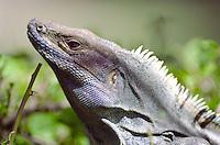 An iguana takes in the sun in Playa Tamarindo, Costa Rica.