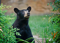 Black bear looking up at the sky in n urban garden in Asheville, NC