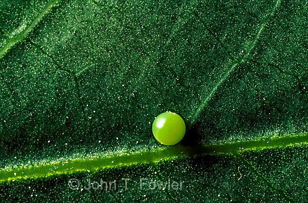 Tiger Swallowtail butterfly egg, papilio glaucus canadensis