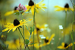 Black-Eyed_Susan