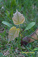 MP02-506z Sugar maple seedling, seed coat, Acer saccharum