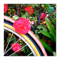 Old Bike, New Rose. San Francisco, CA. 4/24/09 (iPhone image)