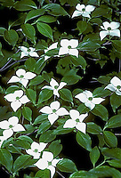 Kousa dogwood, Cornus kousa, unusual symmetrical dogwood flowers sitting on green leaves