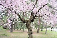 cherry tree in Kyoto, Japan