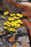 Glacier avens bloom amidst lichen covered rocks in the Arctic National Wildlife Refuge.