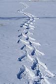Fresh snowshoe tracks in snow