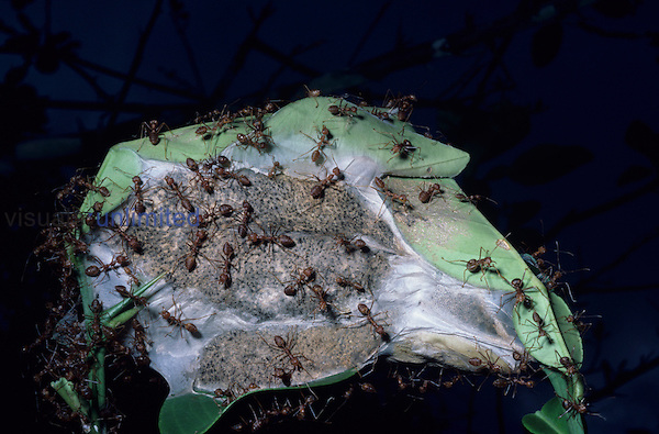 Weaver or Tailor Ant nest of leaves sewn together by larvae (Oecophylla), Jinghong, Yunnan, China.