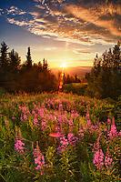 Sunset on fireweed atop Butte Mt, Palmer Alaska