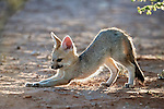 Cape fox cub, Vulpes chama, Kgalagadi Transfrontier Park, Northern Cape, South Africa