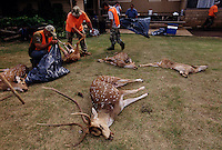 Skilled hunters bagged several elusive Axis deer on opening day of the hunting season on Lanai. Axis deer were a royal gift to the islands in 1868 islands from Hong Kong. Five were brought to Maui in 1959 for hunting and now there are 10,000 deer eating their way through <br /> Hawaii&rsquo;s native plants. They are on several islands and proliferating without having predators. <br /> <br /> Opinions are sharply divided on managing axis deer. On one hand, they have built a fence around endangered plants on Haleakala National Park to protect them from the deer. They are hunting to eradicate all deer within the fenced area. On the other hand, people come to Hawaii to hunt axis deer. It is a source of income for people on the island of Lanai who also enjoy the sport of hunting the small illusive deer that never loses its spots.