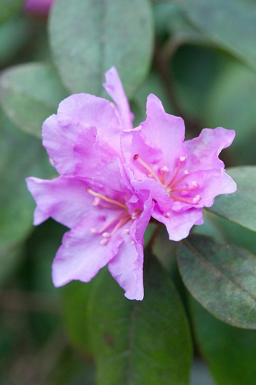 Rhododendron 'P.J. Mezzit' (carolinianum x dauricum), mid March.