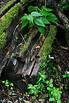 Decaying tree in damp wood covered in moss and green vegetation. El Hierro, Canary Islands.