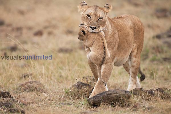 African Lion lioness carrying her cub aged 2-3 months  (Panthera leo), Masai Mara, Kenya.