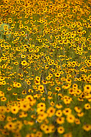 Tickseed wildflower (Coreopsis gladiata)