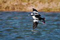 Bufflehead Duck in Flight