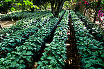Young coffee plants on a coffee farm on the slopes of the Santa Ana Volcano in western El Salvador..(Property Released)