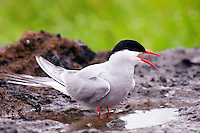 Arctic tern standing in a puddle of water