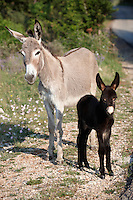 Stock photos of Young Donkey with its mother - Dalnatian mountains - Dubrovnik Croatia
